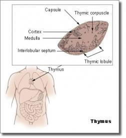 Тимус или вилочковая железа