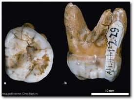 Зуб денисова человека