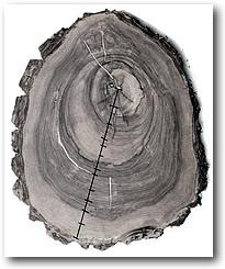 Срез дерева с годичными кольцами.