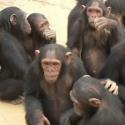 Почему самки высших приматов кричат во время секса? — Все дело в социальном ранге партнеров
