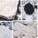 Найдена древнейшая жизнь на Земле. Анаэробные микроорганизмы существовали уже 3,4 млрд. лет назад. Они могли бы выжить и на других планетах…