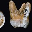 Денисов человек, неандерталец и современный человек — три разных вида Homo sapiens. Но они не только скрещивались, но и меняли иммунитет друг друга…